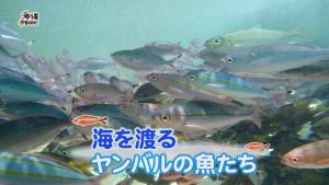 ヤンバルの魚3